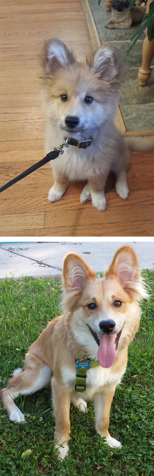 Gordie (corgi + golden retriever)
