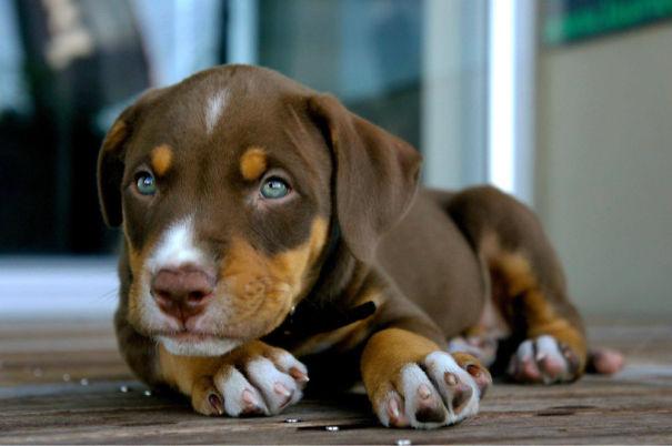 Labrador + doberman + boxer