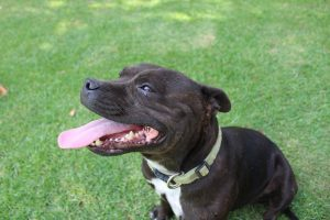 Staffordshire Bull Terrier Abandon