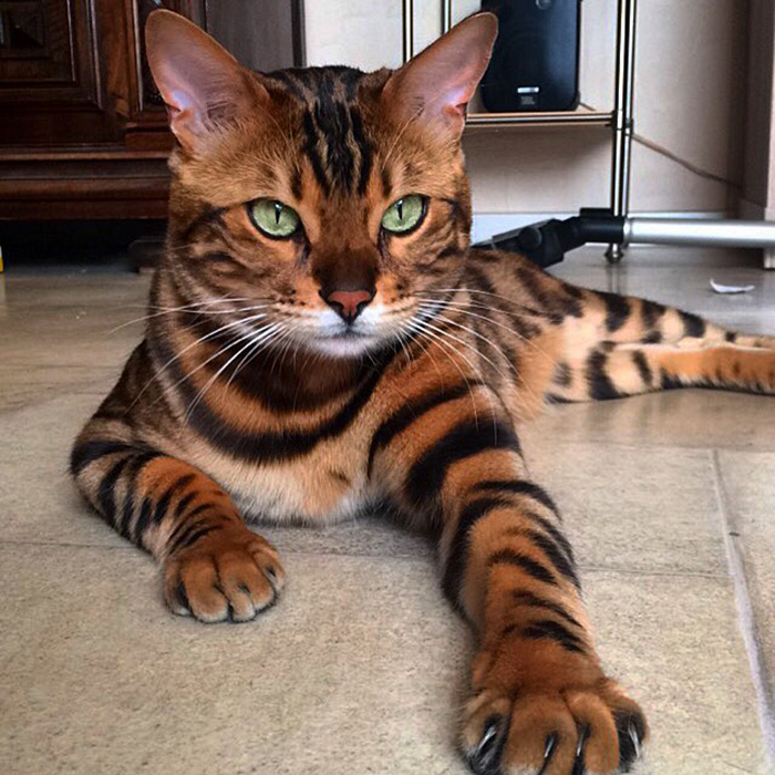 Thor le bengal