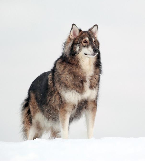 Utonagan (malamute de l'Alaska + husky sibérien + berger allemand)