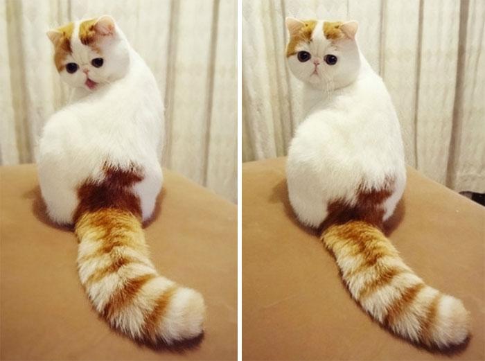 chat panda roux