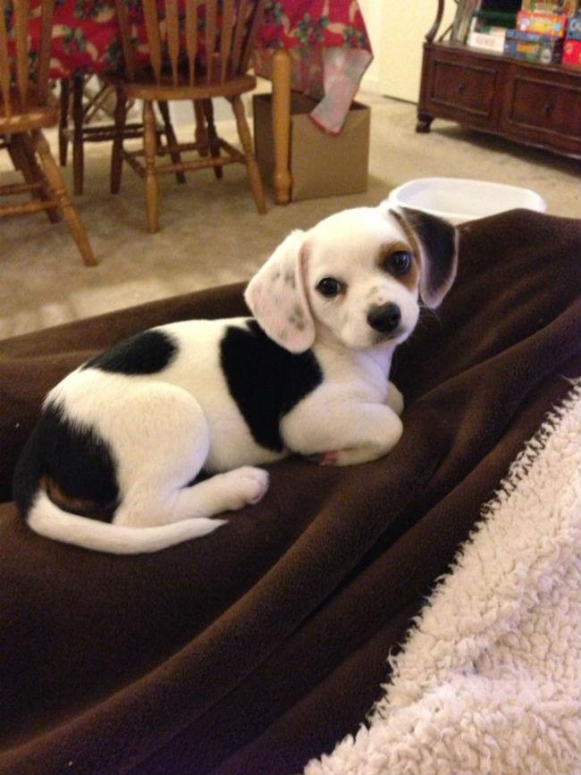 chihuahua croisé beagle