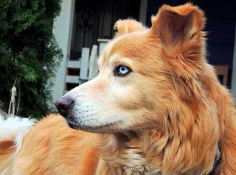Husky Golden Retriever